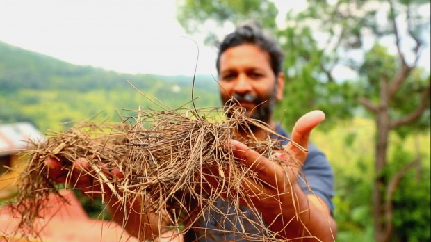 India Pine Needles
